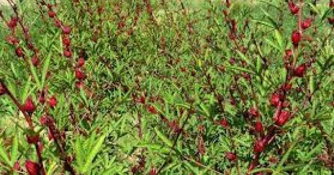 اختصاص بیش از یک هکتار از اراضی کشاورزی خوسف به کشت چای ترش