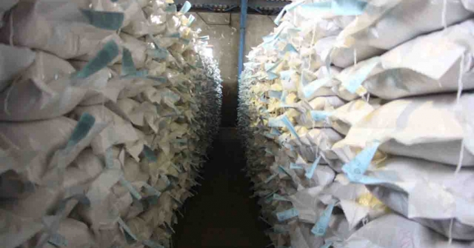 تخصیص  80 تن بذر اصلاح و گواهی شده برنج رقم هاشمی برای شهرستان رودسر