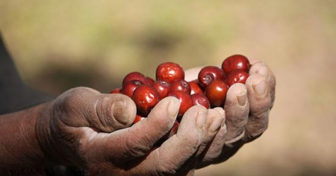 خراسان جنوبی نخستین تولیدکننده عناب در جهان