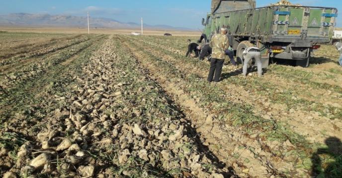 تامین کود مزارع چغندر قند شهرستان میامی