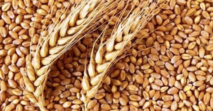 توزیع کود شیمیای مزارع گندم شهرستان سرایان