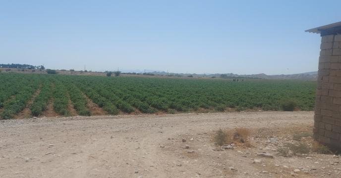 آغاز برداشت گوجه فرنگی خارج از فصل در استان بوشهر