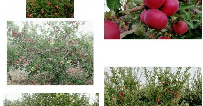 بیش از ۷۰۰۰ هکتار انواع باغ های میوه در مرودشت استان فارس