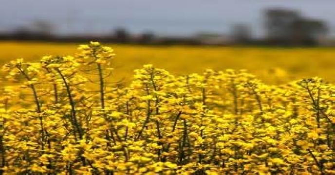 لزوم افزایش عملکرد تولیدات کشاورزی و توسعه کشت دانه های روغنی