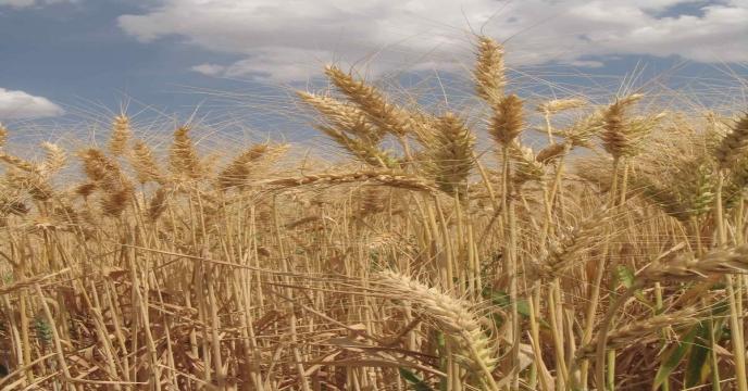 تولید گندمکار نمونه ۳ برابر میانگین تولید در هکتار/ کشاورزان خرد نیازمند حمایت هستند