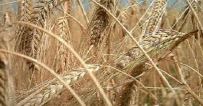 دستیابی به بذر اصلاحشده رقم هاشمی برنج برای نخستینبار/ افزایش سطح کشت جو در کشور