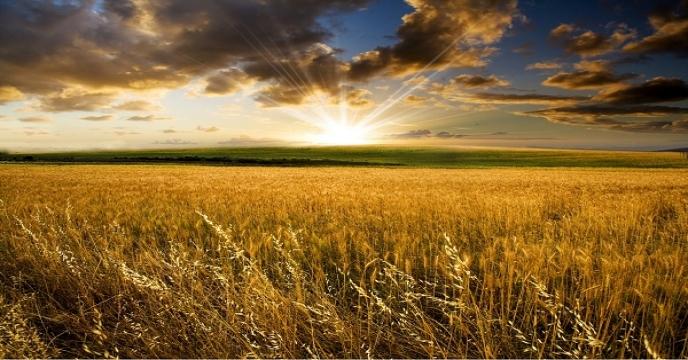 برنامه های جهاد کشاورزی برای گسترش کشت نشایی محصولات زراعی