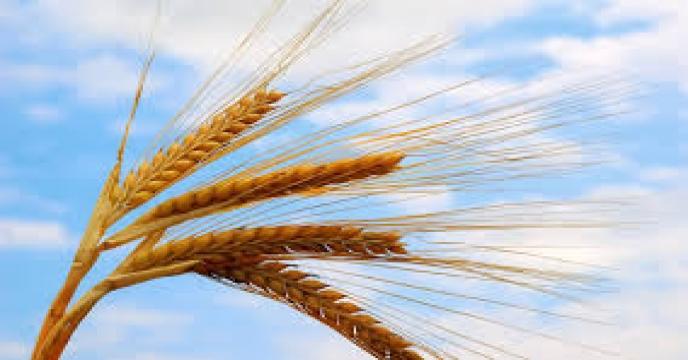 طرح افزایش خوداتکایی کشور در تولید برنج اجرا می شود