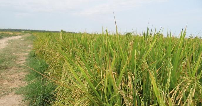 تأمین و توزیع 560 هزار کیلوگرم بذر شلتوک برنج در استان مازندران