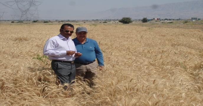 گزارش تصویری از برداشت مزارع بذر گندم استان هرمزگان