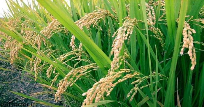 مازندران ۵۰ درصد نیاز به واردات برنج را تامین می كند
