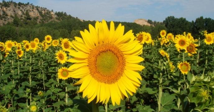 توزيع بذر آفتابگردان غير هيبريد وارداتی از كشور روسيه