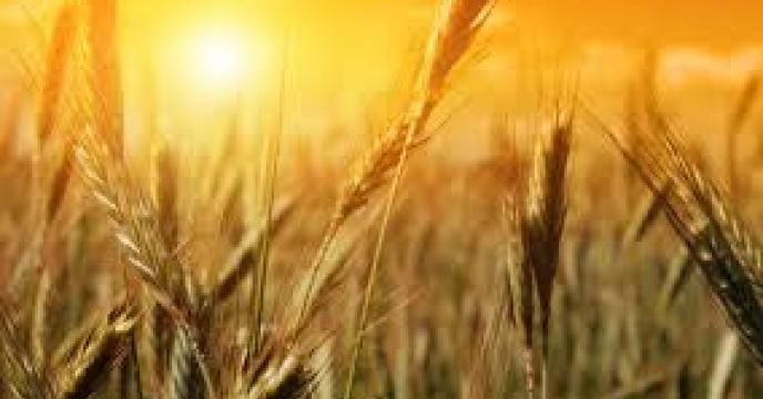 خرید 10 میلیون تن گندم از کشاورزان در سال جاری