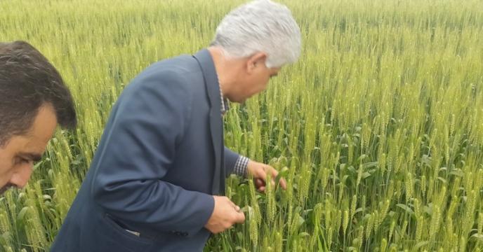تهیه و تدارک 3500 تن بذر اصلاح شده گندم و جو در مازندران