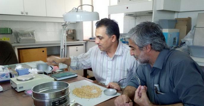 جایگاه و پتانسیل شرکت خدمات حمایتی کشاورزی استان گلستان در فرآوری بذر گندم