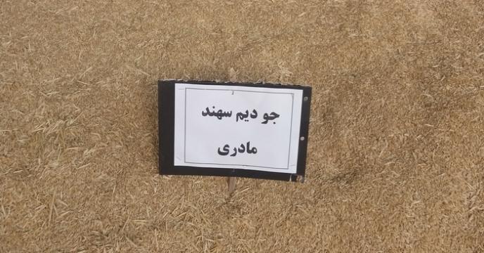 تولید سه رقم بذر جو دیم اصلاح شده برای اولین بار در استان