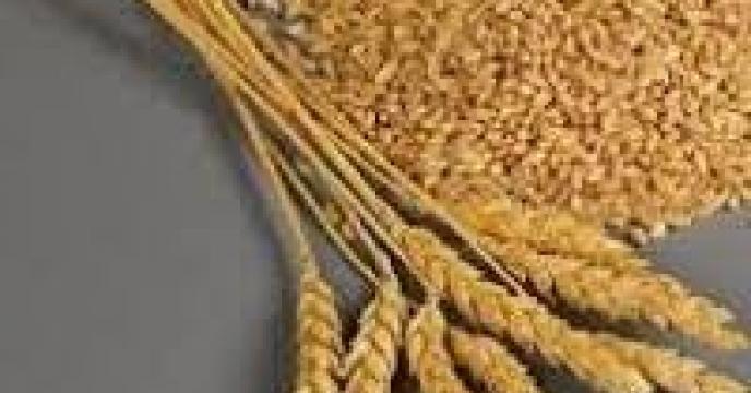 تأمین بذر گواهی شده گندم برای تمامی کشاورزان مازندران