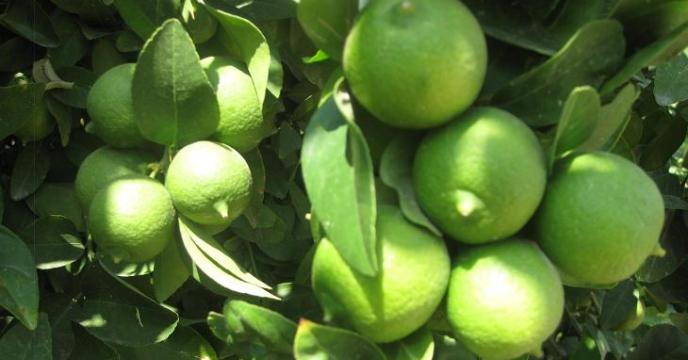 برداشت لیمو ترش از باغات قیروکارزین استان فارس