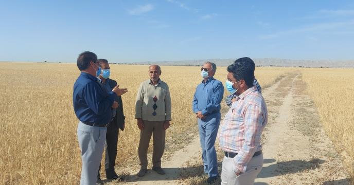 آغاز برداشت گندم از اراضی دیم استان بوشهر