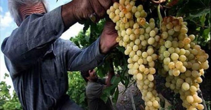 آغاز برداشت انگور از تاکستانهای خراسان جنوبی