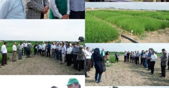 برگزاری روز مزرعه خشکه کاری برنج در ایستگاه تحقیقات کشاورزی عراقی محله گرگان