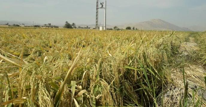 رکورد برداشت شلتوک از شالیزارهای رستم  استان فارس با بذر پر بهره رقم ضیغمی شکسته شد