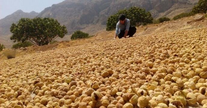 برداشت 3000 تن انجیر در منطقه خیر استان فارس