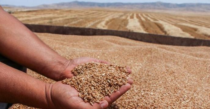 خرید 50 هزار تن گندم از کشاورزان استان قزوین