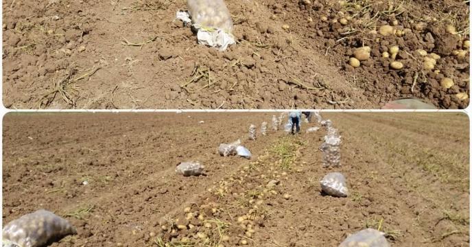 برداشت سیب زمینی از مزارع بکان  فارس آغاز شد