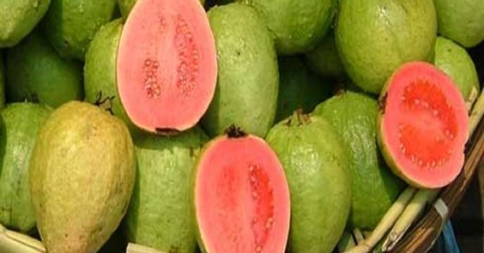 آغاز برداشت میوه گواوا در استان هرمزگان