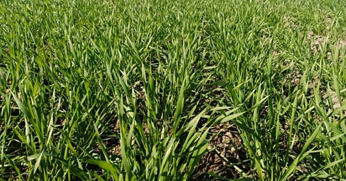 بازدید از مزرعه پایلوت تغذیه گیاه گندم در گلستان