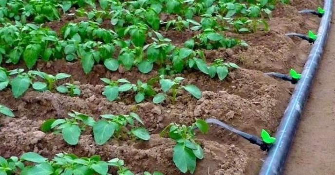 مبارزه بیولوژیک در مزارع گوجه شهرستان کرج