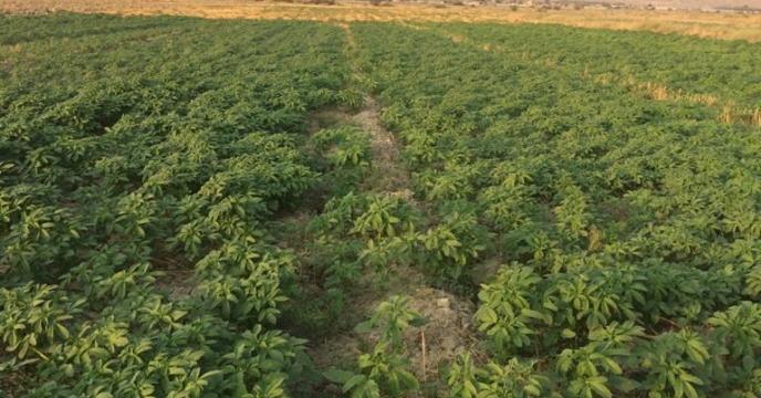 بازدید از مزارع کنجد شهرستان دشتستان