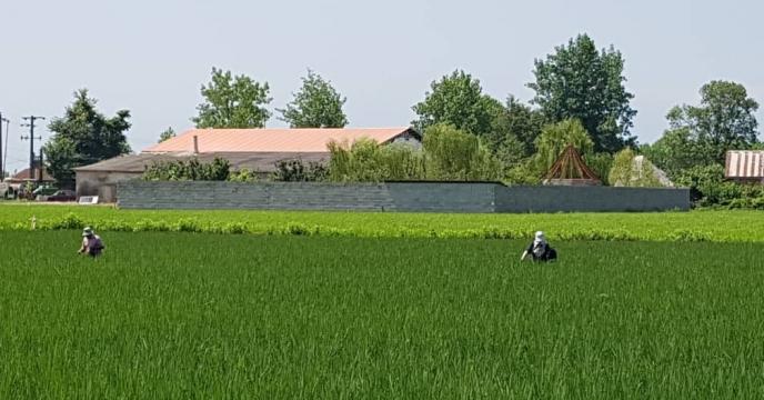 تداوم مبارزه بیولوژیک در مزارع تولید بذر برنج در استان گیلان