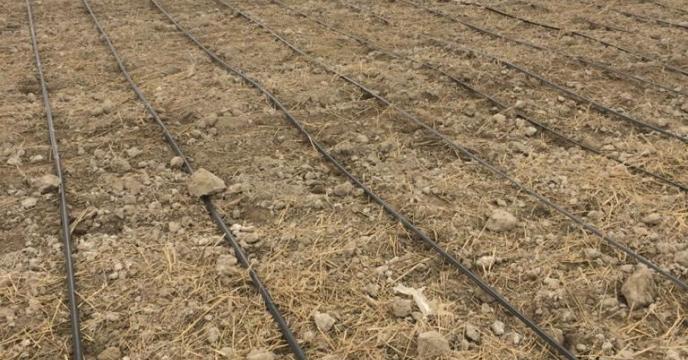 بازدید مدیر شرکت خدمات حمایتی کشاورزی استان بوشهر از مزارع کشت گیاه سیاهدانه در دشت بوشکان