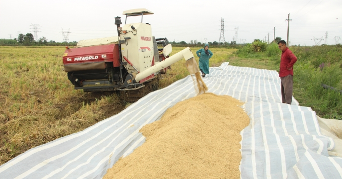 آمارخرید بذر برنج از پیمانکاران طرف قرارداد با شرکت خدمات حمایتی کشاورزی گیلان