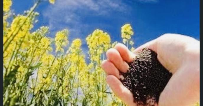 توزیع کود در سطح 241 هکتار مزارع گندم،جو و کلزا در شهرستان اوز در سال 99