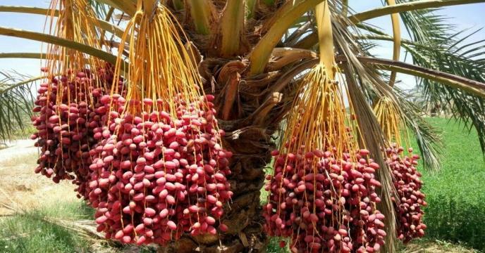19 هزار تن انواع خرما در شهرستان سیب و سوران برداشت شد