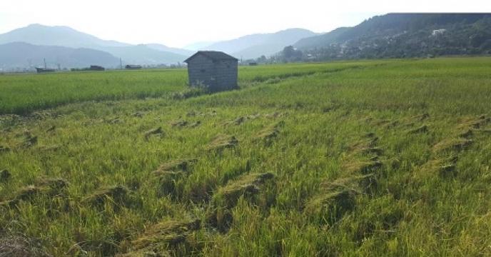 اولین برداشت برنج رتون در سوادکوه شمالی مازندران