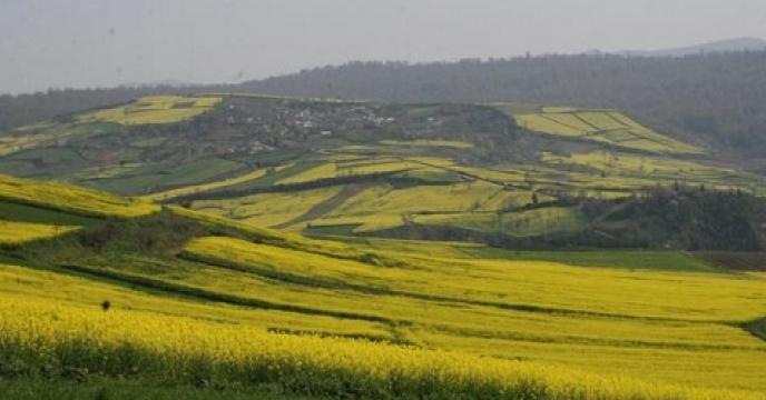 افزایش در آمد کشاورزان با کاشت کلزا در مازندران