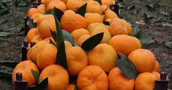 افزایش 10 درصد محصول مرکبات در  استان مازندران