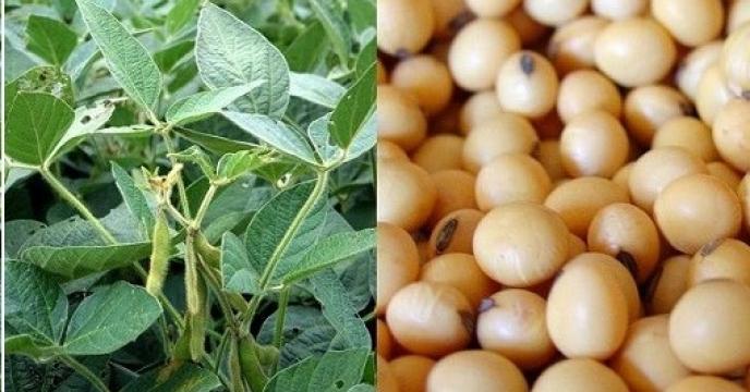افزایش دو برابری سطح سبز سویا در گلوگاه مازندران