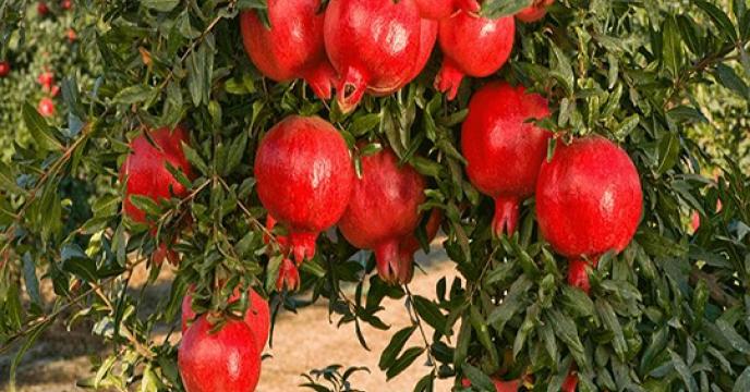 پیش بینی تولید 3هزار تنی انار در گلوگاه استان مازندران