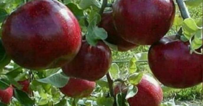 تأمین کود مورد نیاز باغات شهرستان نظرآباد