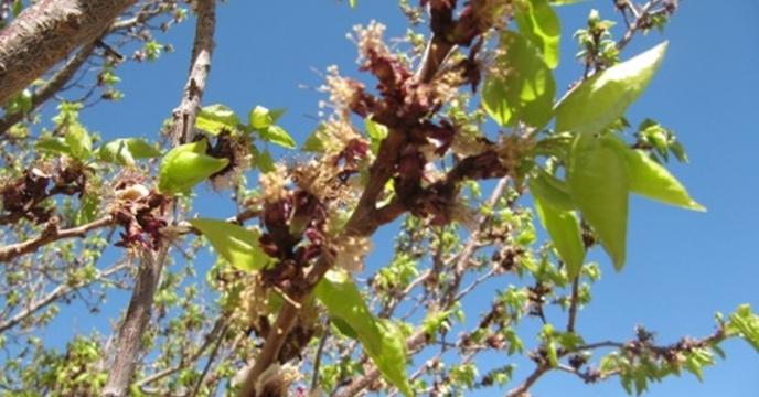 تأمین و تدارک کود مورد نیاز باغات میوه در شهرستان کرج