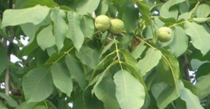 متوسط عملکرد محصولات باغی در استان البرز 3 برابر متوسط کشوری است.