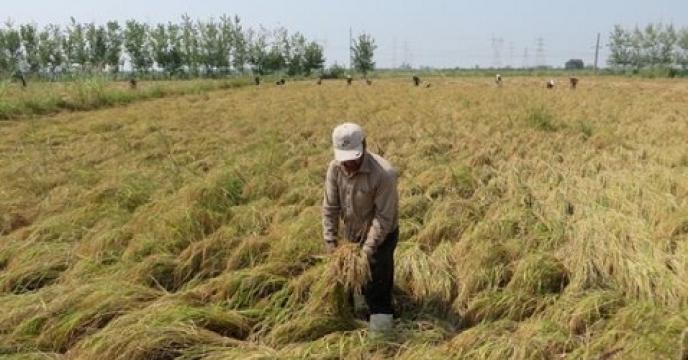 برداشت بیش از 15هزار تن ارقام محلی برنج در نکا استان  مازندران