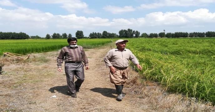 بازدید از مزارع بذری برنج در استان مازندران