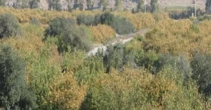بیش از 8هزار هکتار باغ درختان سیاه ریشه در نکا مازندران