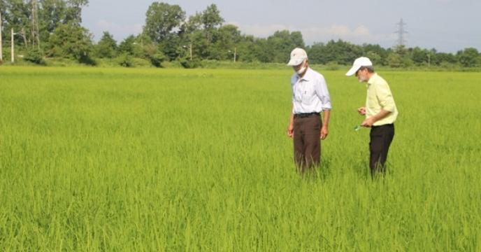 بررسی وضیعت مزارع تولید بذر برنج شرکت خدمات حمایتی کشاورزی استان گیلان